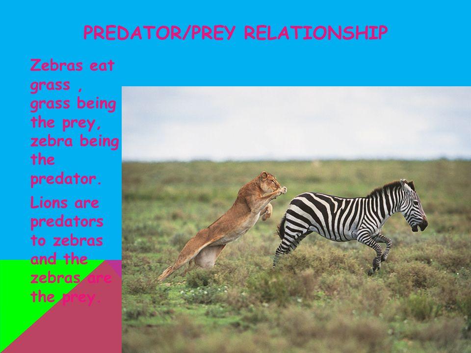 predator prey relationship tarsier