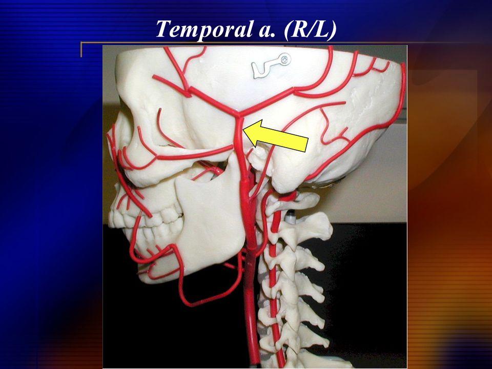 Temporal a. (R/L)