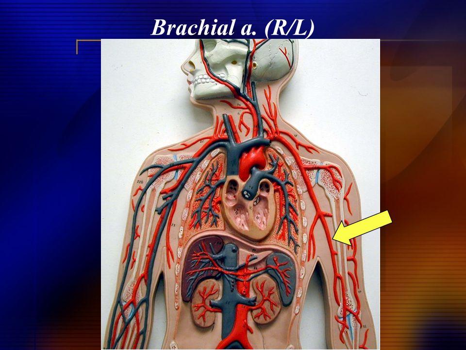 Brachial a. (R/L)
