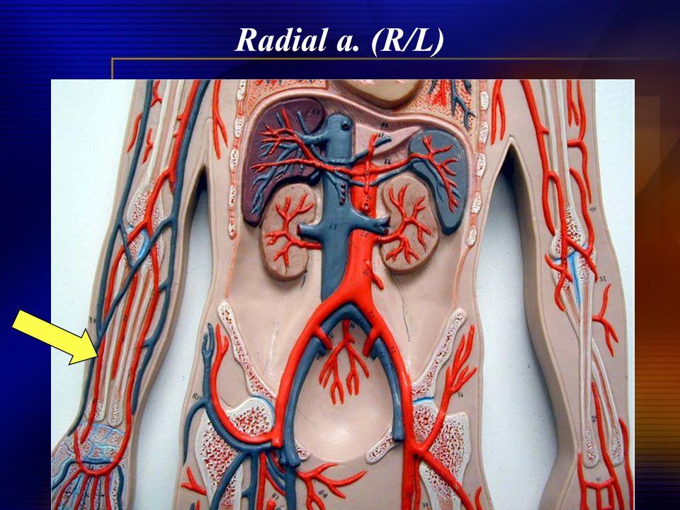 Radial a. (R/L)