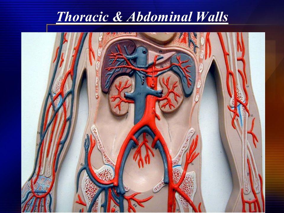 Thoracic & Abdominal Walls
