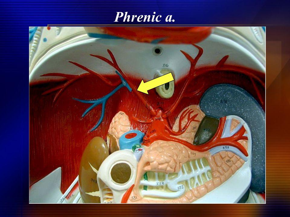 Phrenic a.