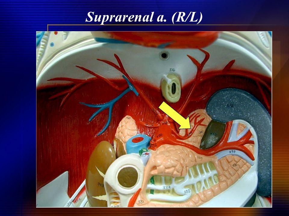 Suprarenal a. (R/L)