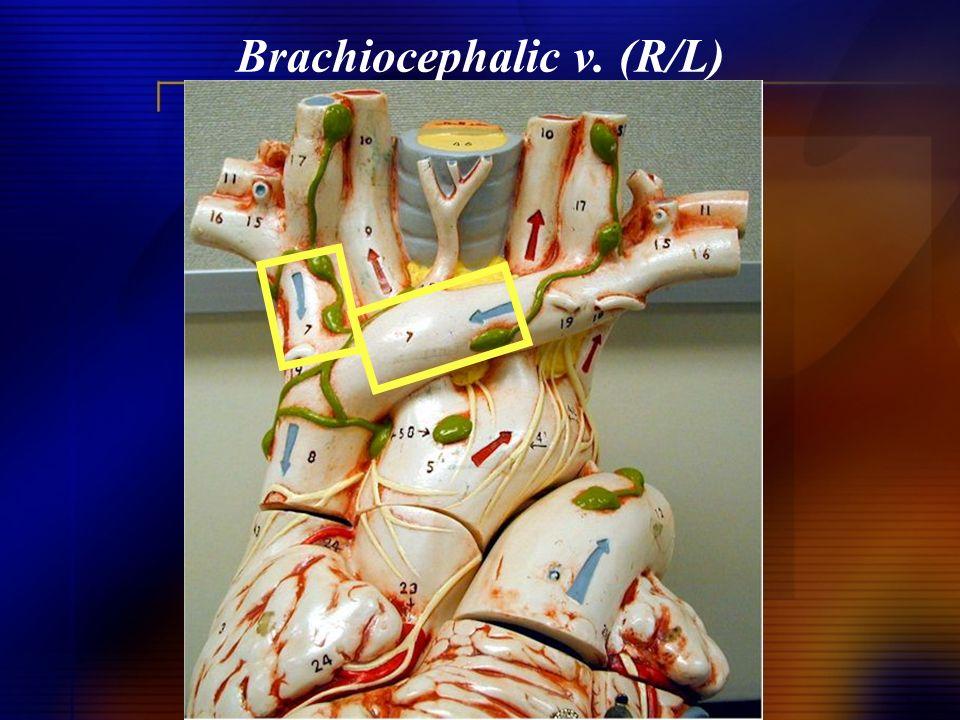 Brachiocephalic v. (R/L)