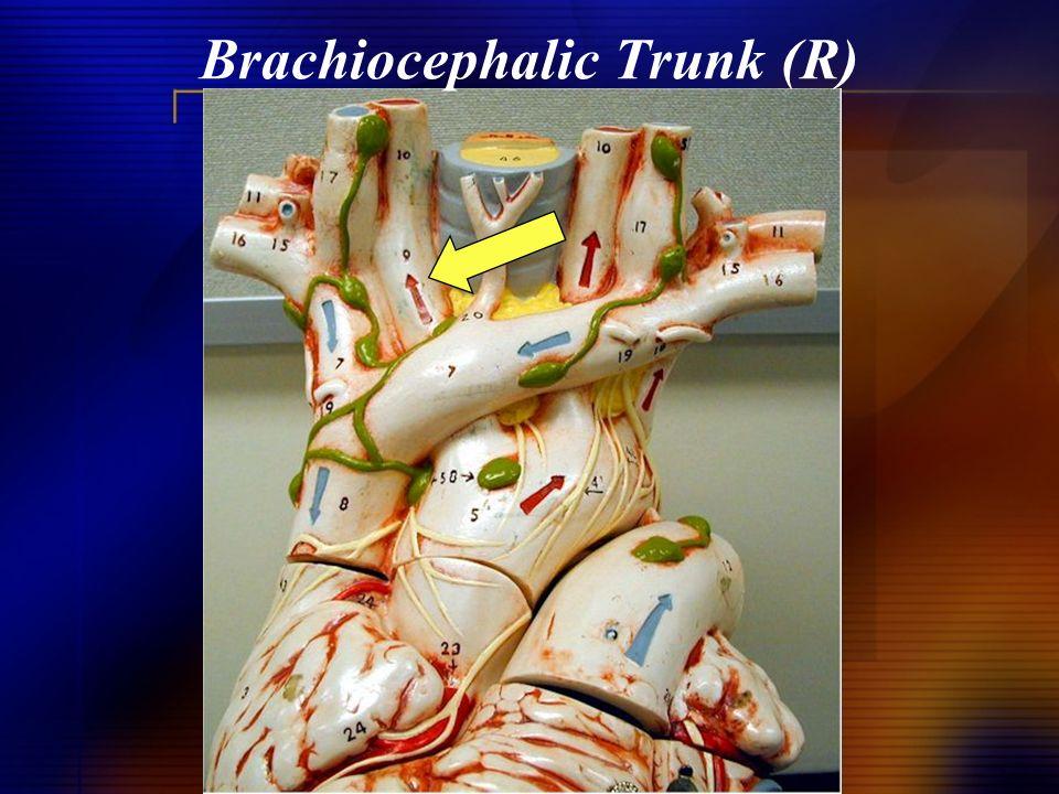 Brachiocephalic Trunk (R)