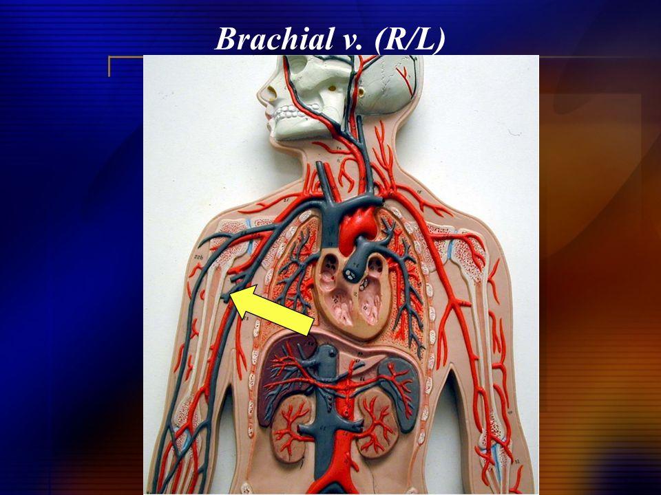 Brachial v. (R/L)