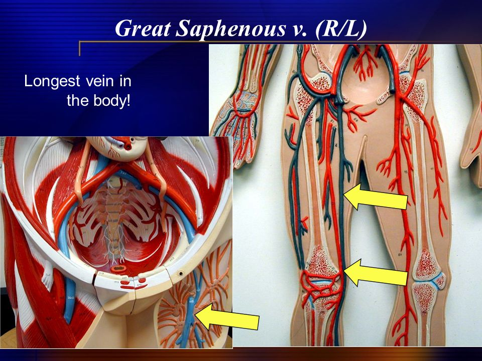 Great Saphenous v. (R/L) Longest vein in the body!