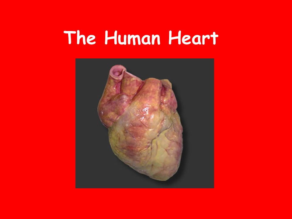 The human heart location in the thoracic cavity specifically the 1 the human heart ccuart Gallery