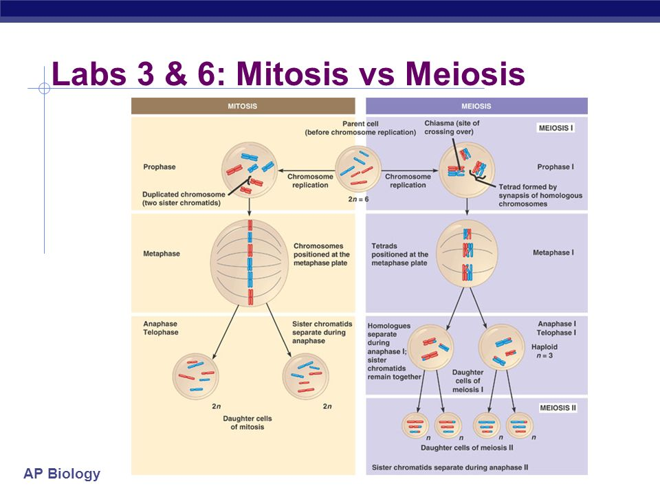 ap bio mitosis and meiosis lab write up Stages of mitosis lab report the nuclear envelope and nucleolus also start to break up ap bio mitosis and meiosis lab.
