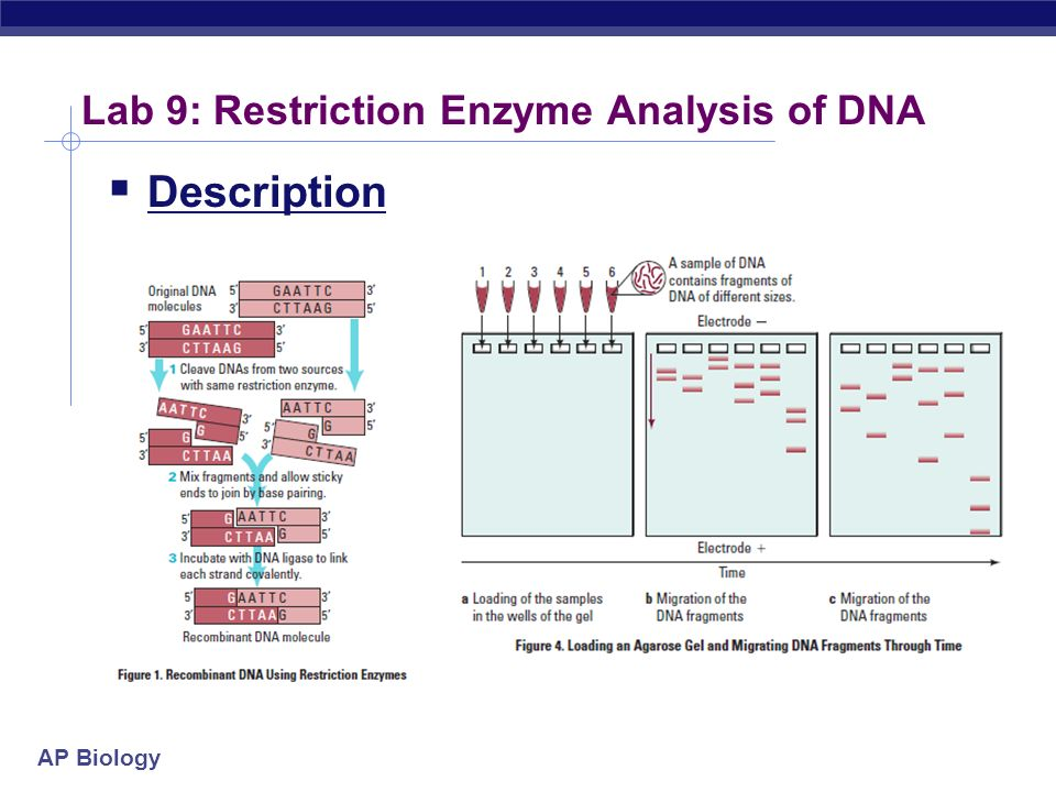 analysis of dna using restriction enzyme