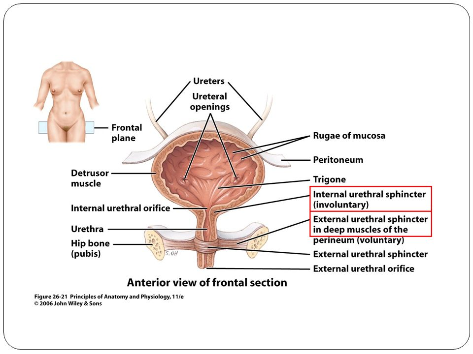 honors anatomy & physiology chapter 25 the urinary system part ppt, Human Body