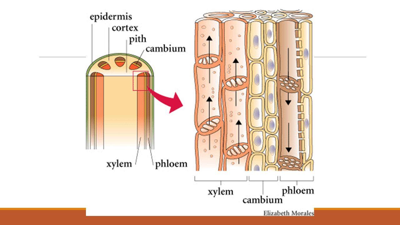 plant tissue diagram