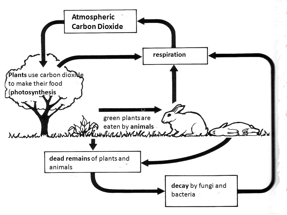 Part of earth where life exists located near earths surface 21 atmospheric carbon dioxide plants use carbon dioxide to make their food photosynthesis green plants are eaten by animals respiration dead remains of ccuart Gallery