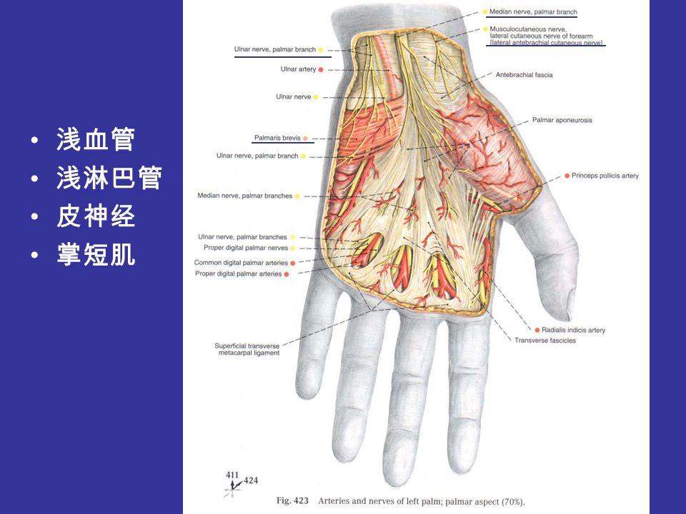 局部解剖学(六) 手部的局部解剖与操作.