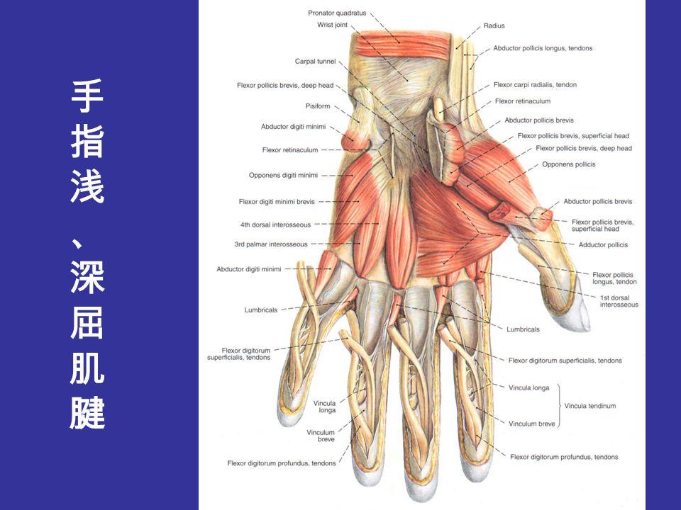 手指 finger (一)浅层结构 superficial structures 皮肤 skin 浅筋膜