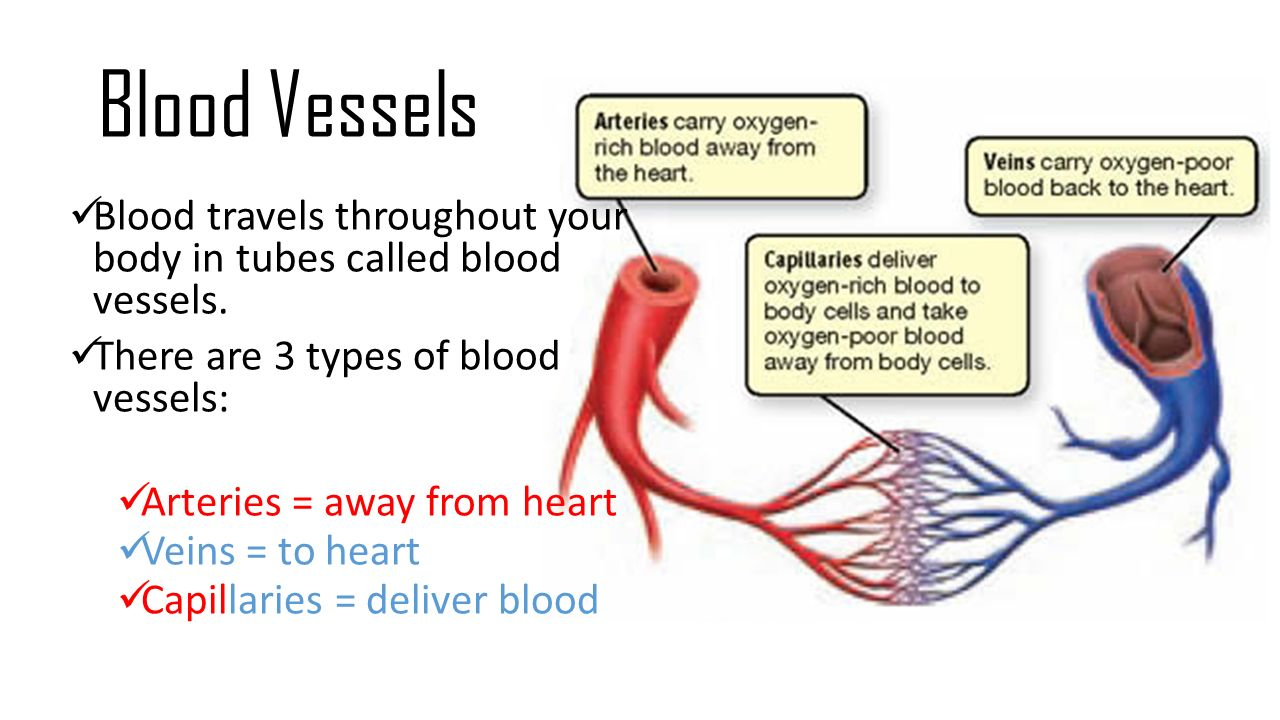 blood and it's vessel system Also see professional content regarding heart and blood vessel disorders the cardiovascular system includes the heart and the blood vessels (the veins and the arteries) the function of the heart is to pump blood the right side of the heart pumps blood to the lungs, where oxygen is added to the.