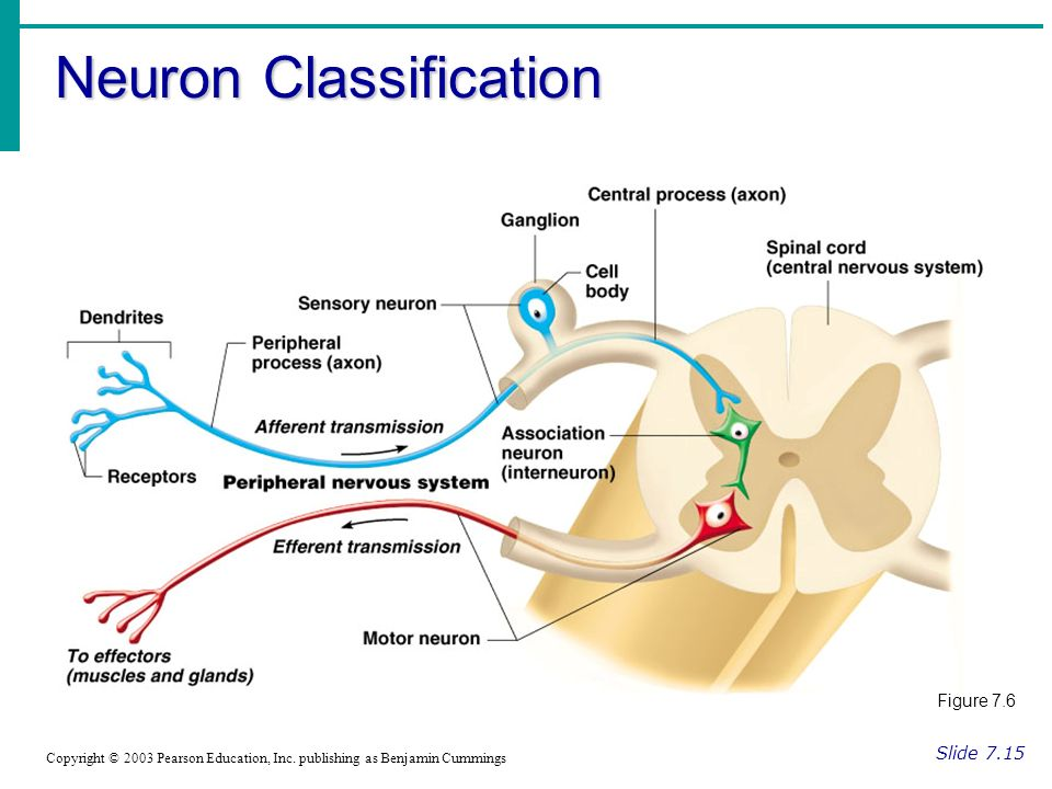 Neuron Classification Slide 7.15 Copyright © 2003 Pearson Education, Inc.