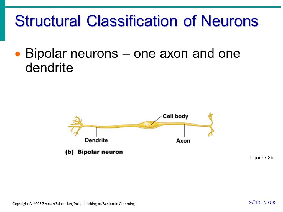 Structural Classification of Neurons Slide 7.16b Copyright © 2003 Pearson Education, Inc.