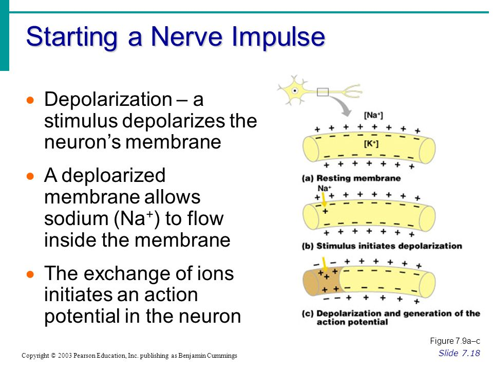 Starting a Nerve Impulse Slide 7.18 Copyright © 2003 Pearson Education, Inc.