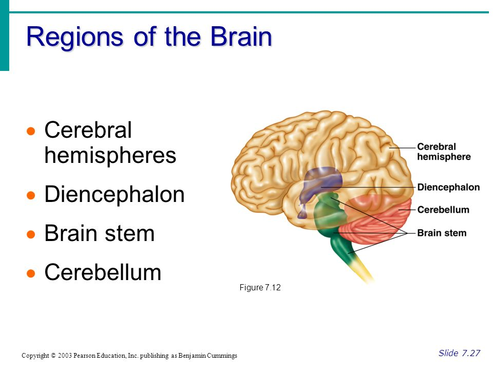 Regions of the Brain Slide 7.27 Copyright © 2003 Pearson Education, Inc.