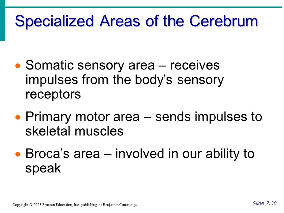 Specialized Areas of the Cerebrum Slide 7.30 Copyright © 2003 Pearson Education, Inc.