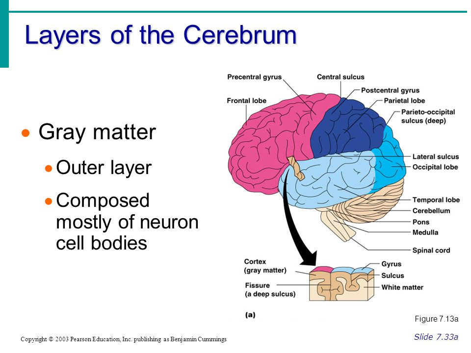 Layers of the Cerebrum Slide 7.33a Copyright © 2003 Pearson Education, Inc.