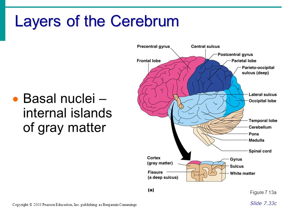 Layers of the Cerebrum Slide 7.33c Copyright © 2003 Pearson Education, Inc.