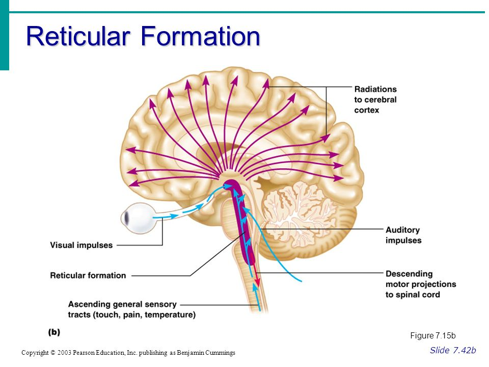 Reticular Formation Slide 7.42b Copyright © 2003 Pearson Education, Inc.