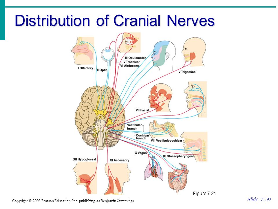 Distribution of Cranial Nerves Slide 7.59 Copyright © 2003 Pearson Education, Inc.