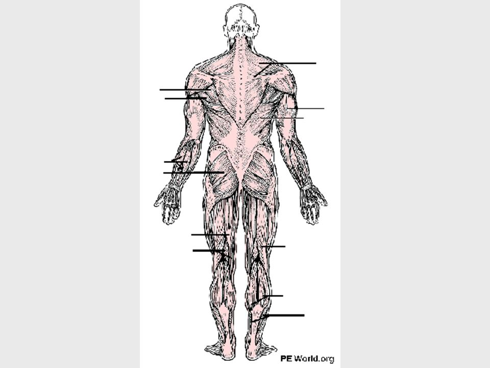 Muscles function, actions and identification of major superficial ...