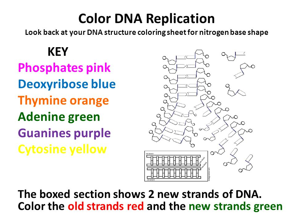 Dna Coloring Worksheet Samsungblueearth – Dna the Double Helix Worksheet
