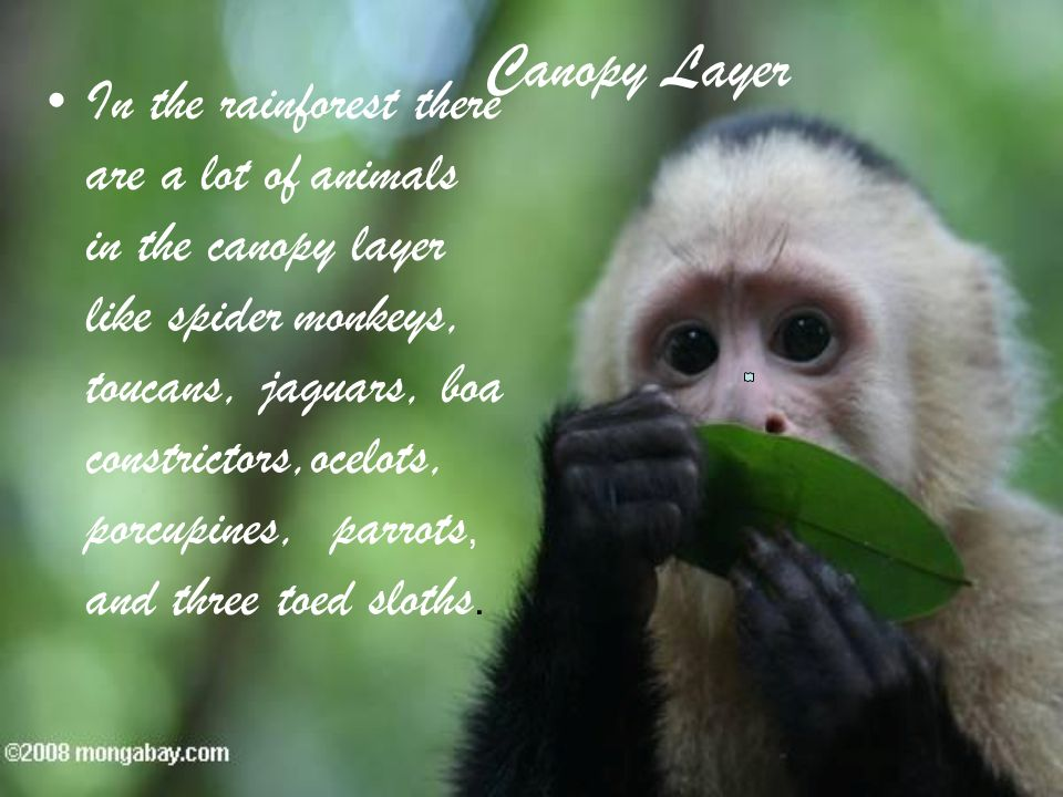 7 Canopy Layer In the rainforest there are a lot of animals in the canopy layer like spider monkeys toucans jaguars boa constrictorsocelots porcupines ... & The Tropical Rainforest By Brianna Kevin and Jo se. - ppt download