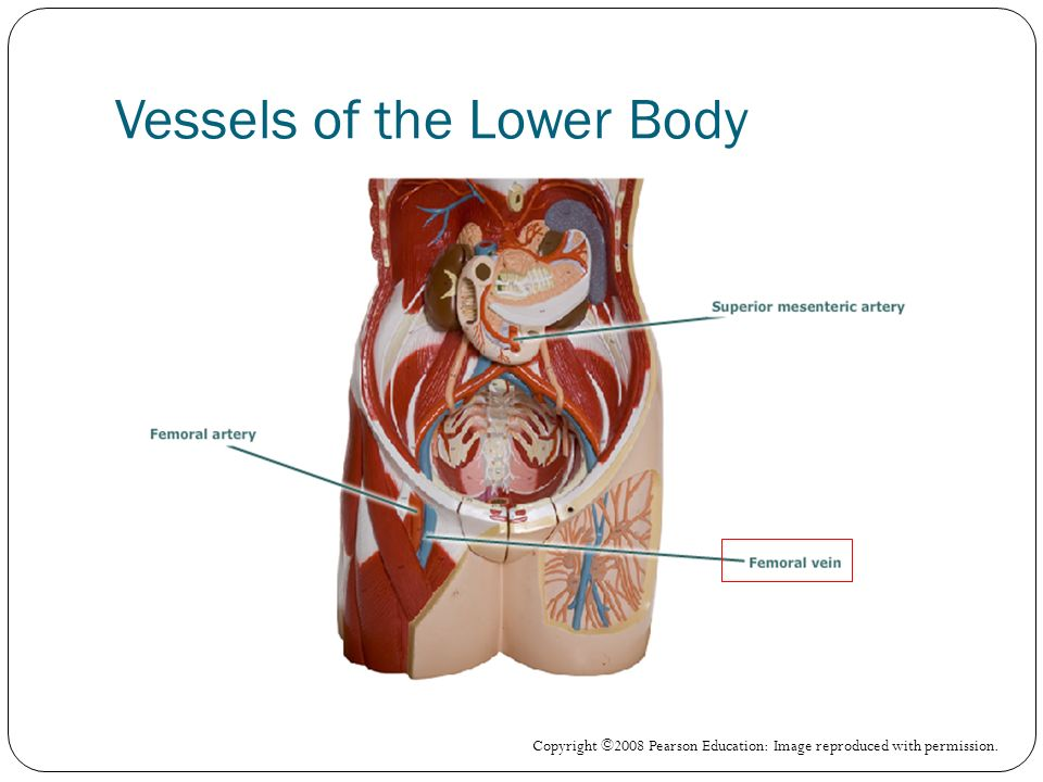 Vessels of the Lower Body Copyright ©2008 Pearson Education: Image reproduced with permission.