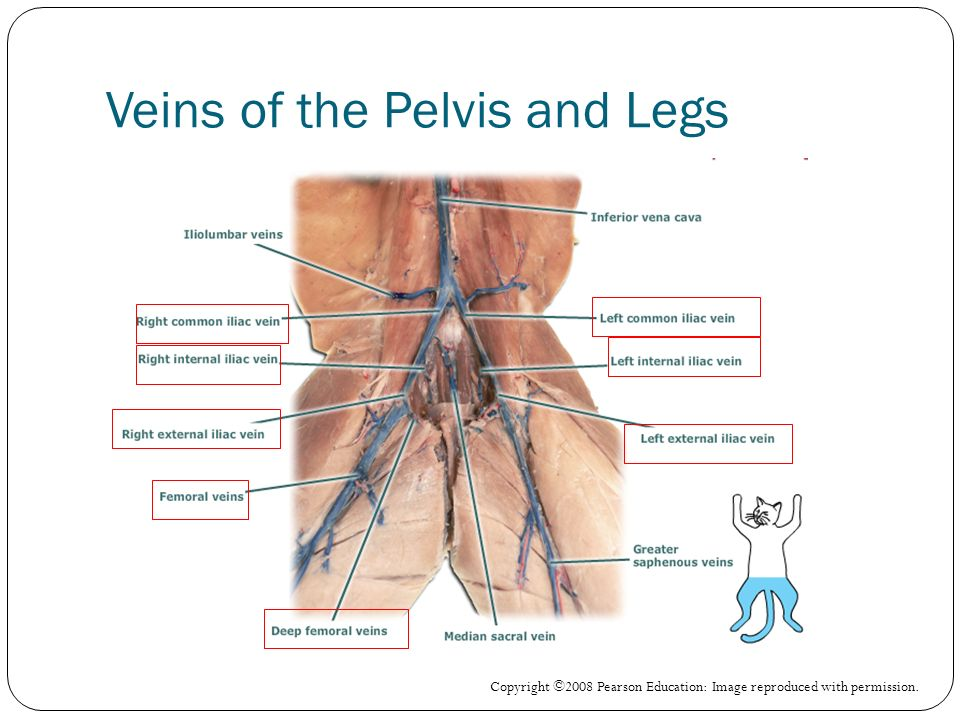 Veins of the Pelvis and Legs Copyright ©2008 Pearson Education: Image reproduced with permission.