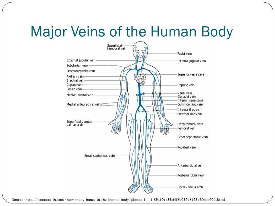 Major Veins of the Human Body Source: http://connect.in.com/how-many-bones-in-the-human-body/photos-1-1-1-39a101c39cf4f6b052b6125b80bea001.html