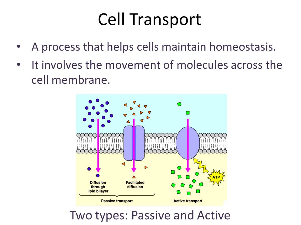 cell transport and homeostasis Homeostasis and transport exocytosis this is the transport of material out of a cell by this is a mechanism by which organisms maintain homeostasis.
