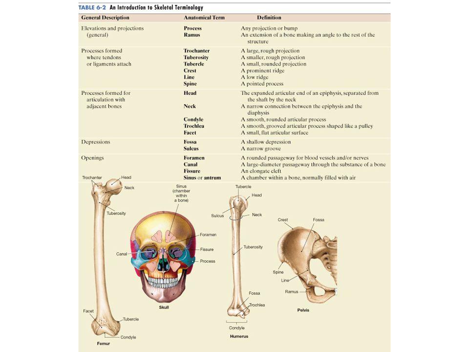 Beste Facette Anatomie Definition Bilder - Anatomie Ideen - finotti.info
