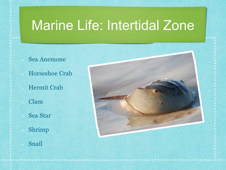 Marine Life: Intertidal Zone Sea Anemone Horseshoe Crab Hermit Crab Clam Sea Star Shrimp Snail