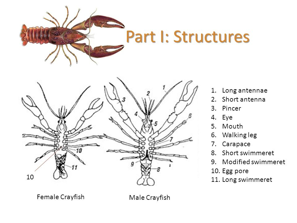 Female Crayfish Anatomy Diagram - DIY Enthusiasts Wiring Diagrams •