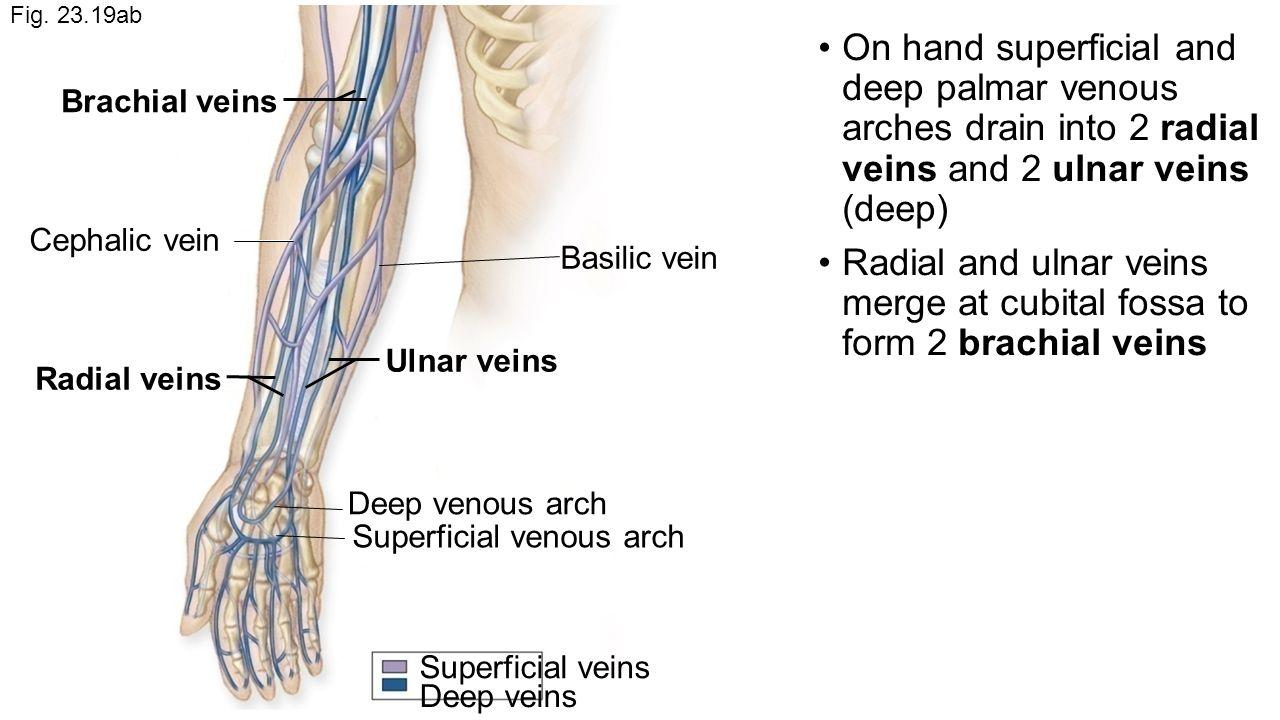Brachial Vein Anatomy Image collections - human body anatomy