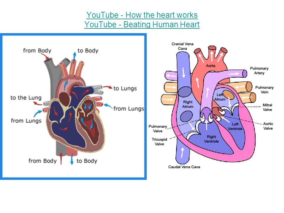 how the heart works youtube - Heart.impulsar.co