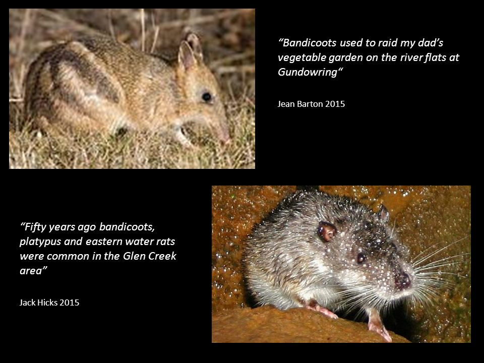 Bandicoots used to raid my dad's vegetable garden on the river flats at Gundowring Jean Barton 2015 Fifty years ago bandicoots, platypus and eastern water rats were common in the Glen Creek area Jack Hicks 2015