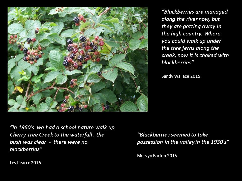 Blackberries seemed to take possession in the valley in the 1930's Mervyn Barton 2015 In 1960's we had a school nature walk up Cherry Tree Creek to the waterfall, the bush was clear - there were no blackberries Les Pearce 2016 Blackberries are managed along the river now, but they are getting away in the high country.