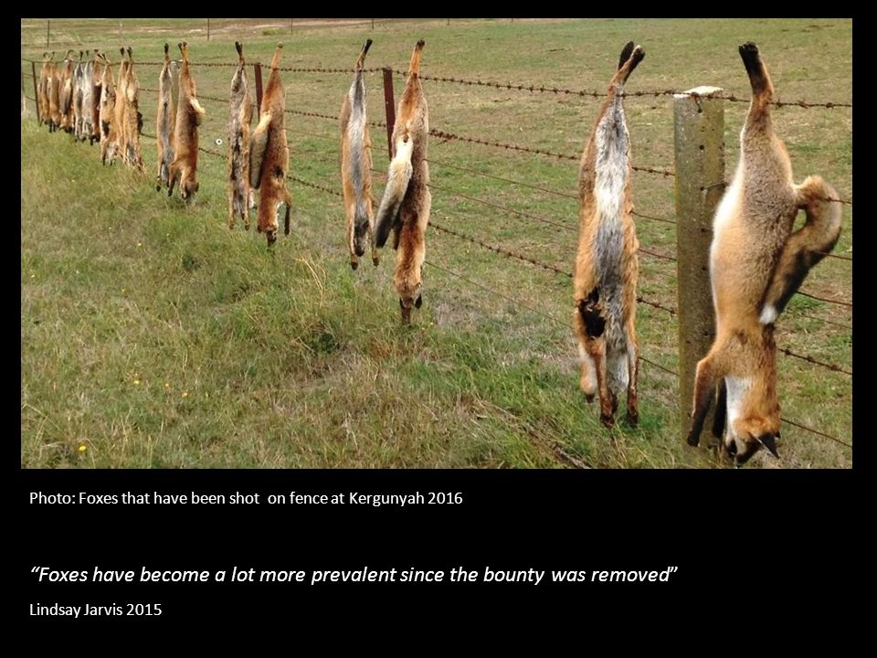 Foxes have become a lot more prevalent since the bounty was removed Lindsay Jarvis 2015 Photo: Foxes that have been shot on fence at Kergunyah 2016