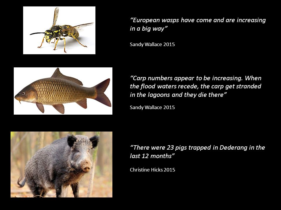 European wasps have come and are increasing in a big way Sandy Wallace 2015 Carp numbers appear to be increasing.