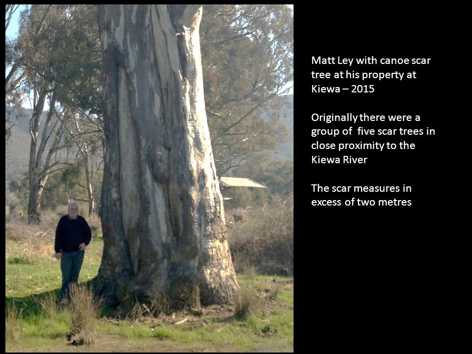 Matt Ley with canoe scar tree at his property at Kiewa – 2015 Originally there were a group of five scar trees in close proximity to the Kiewa River The scar measures in excess of two metres