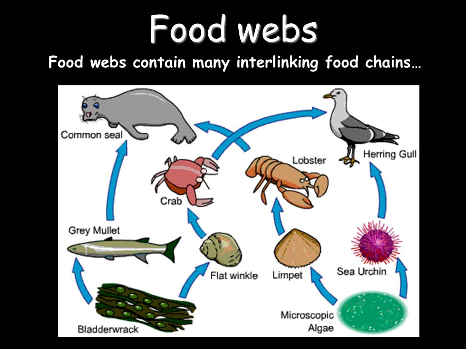 Intertidal zone food web