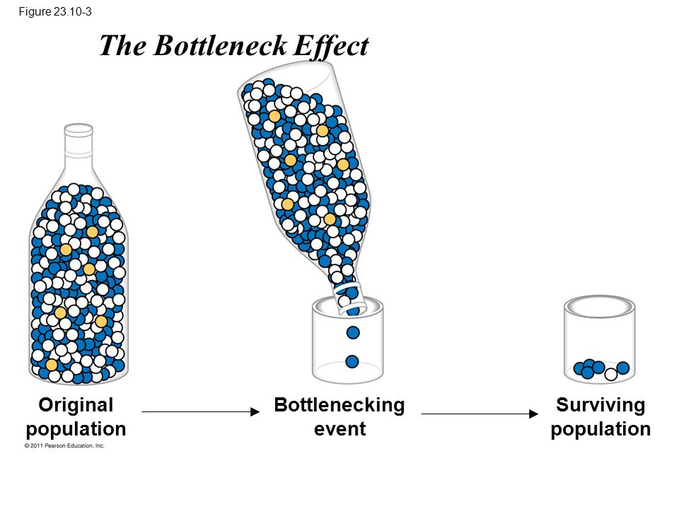 Figure 23.10-3 Original population Bottlenecking event Surviving population The Bottleneck Effect