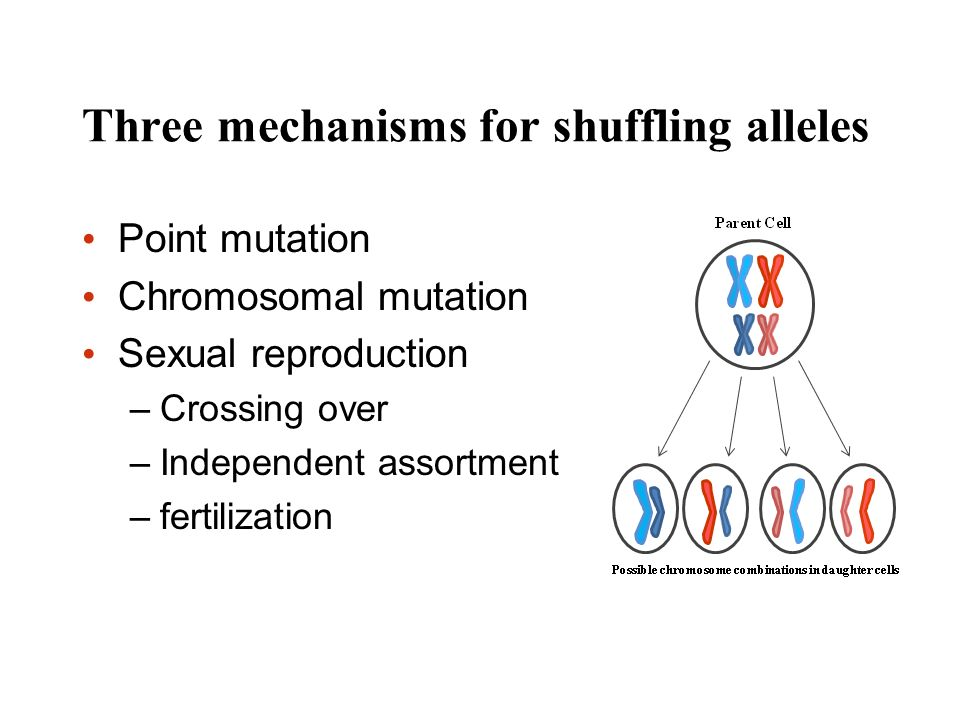 Three mechanisms for shuffling alleles Point mutation Chromosomal mutation Sexual reproduction –Crossing over –Independent assortment –fertilization