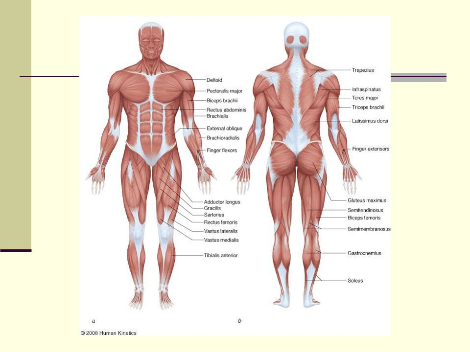 lecture 4 biomechanics of resistance exercise. musculoskeletal, Human Body